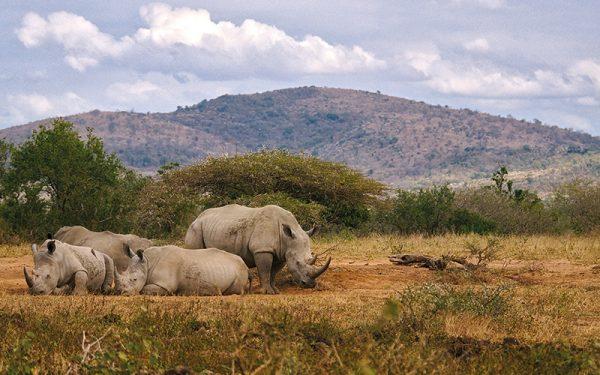 Rhinos on safari
