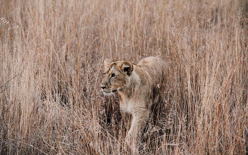 Lion walking in the shrubs