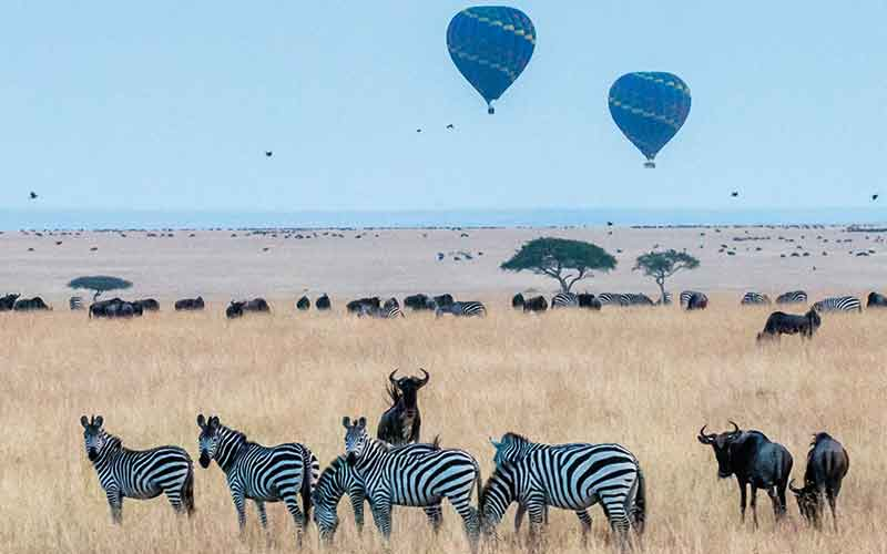 Zebras and bison with hot air balloons