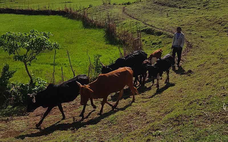 Man hearding cattle