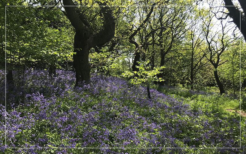 Bluebells in woods daytime